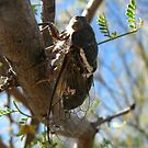 Cicada ~ Cacama Valvata (Male) by Kimberly Chadwick