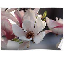 Magnolia in DC Poster