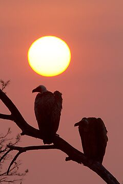 Vulture Sunset by Michael  Moss