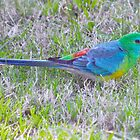 Red-rumped Parrot by Ian Berry