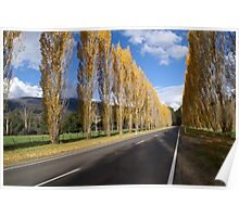 Poplar trees in autumnal colours, Marysville-  Buxton, Vic.  Poster