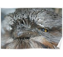 Perfection- Tawny Frogmouth Australia Poster