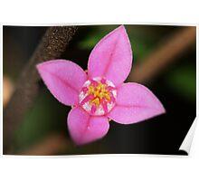 Boronia rosmarinifolia Poster