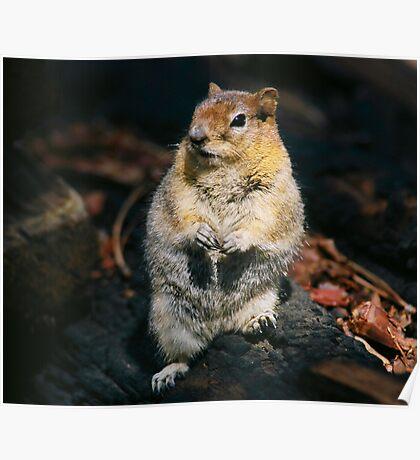 Golden Mantal Ground Squirrel Poster