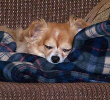 Long Coat Chihuahua Sleeping by Nora Caswell