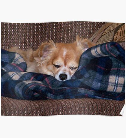 Long Coat Chihuahua Sleeping Poster