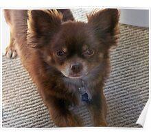 Chocolate Long Coat Chihuahua  Poster
