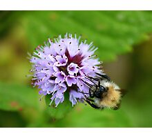 Bee & Flower  Photographic Print