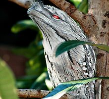 Frogmouth Owl by Susanne Schmitz