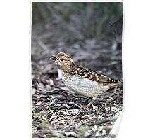 Spotted Bowerbird Poster