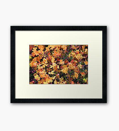 Orange Stars - Hibbertia stellaris Framed Print