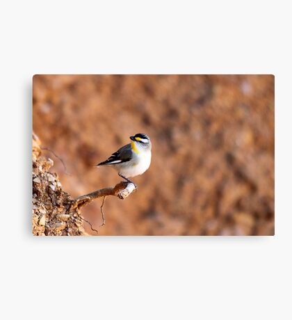 Striated Pardalote Canvas Print