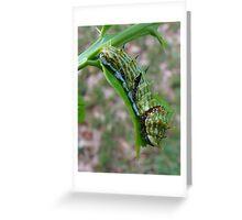 Citrus Swallowtail Butterfly Caterpillar Greeting Card