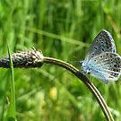 A Lovely Common Blue by ienemien
