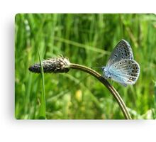 A Lovely Common Blue Canvas Print