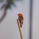 Mauritian Sparrow by LynnEngland