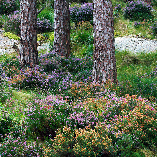 Welsh Heather by Jeanie