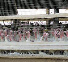 Turkey Farm by Barberelli