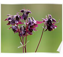 Purple Columbines Poster