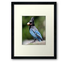 Stellar's Jay With a Beak-full Framed Print
