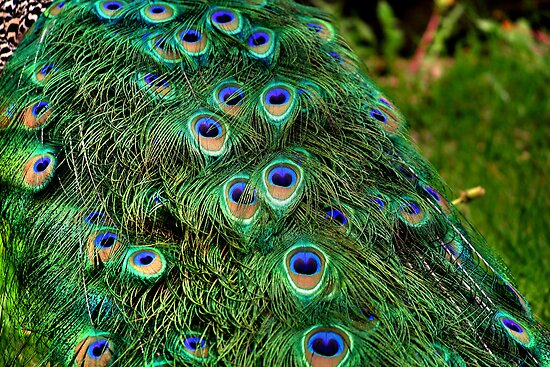 Peacock Plumage by Larry Trupp