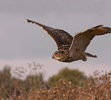 Autumn Owl by Val Saxby