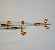 Three little grebes by Daniel  Parent