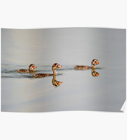 Three little grebes Poster