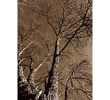 Sepia Tree #1 Photographic Print