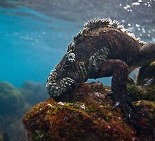 Marine Iguana breakfast by Michael S Nolan