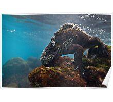 Marine Iguana breakfast Poster