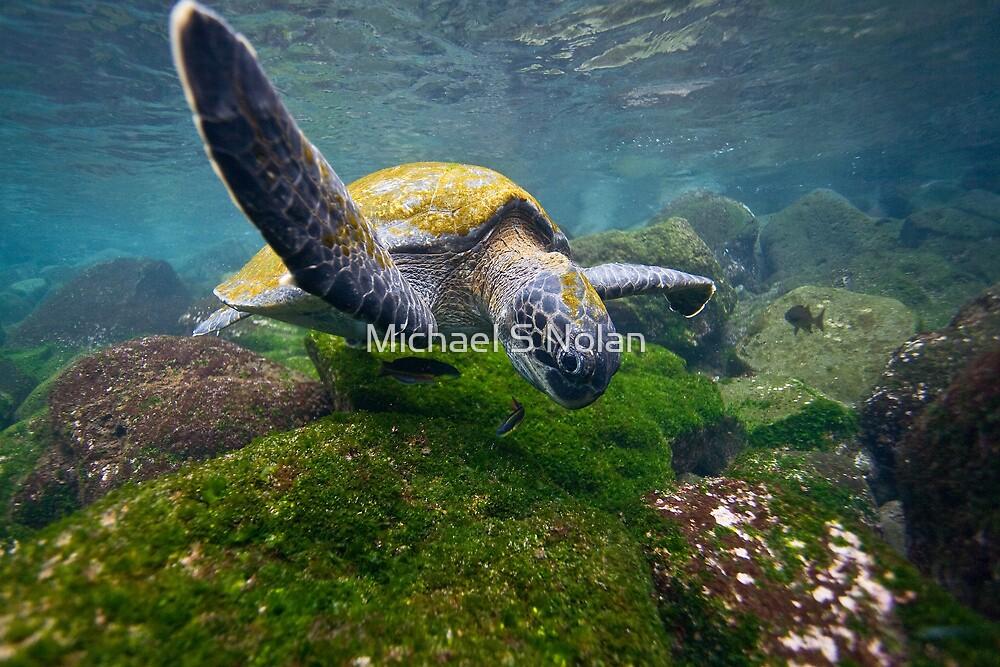 Green Sea Turtle feeding by Michael S Nolan