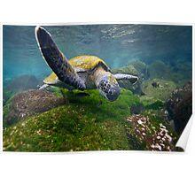 Green Sea Turtle feeding Poster