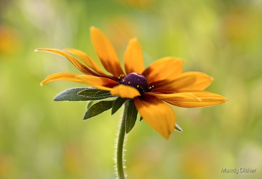 Rudbeckias gold by Mandy Disher