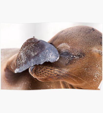 Galapagos Sealion Poster