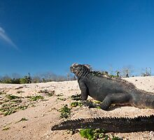 Marine Iguana by tara-leigh
