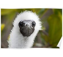 Red-Footed Booby Chick Poster