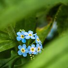 Forget-me-not   by James  Key