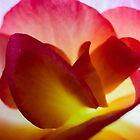 Begonia Petals   Macro by James  Key