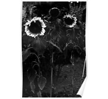 Not so sunny sunflowers.. Poster