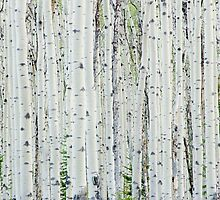 White Birch Tree Forest by Oscar Gutierrez
