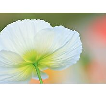 White Poppy Flower Photographic Print