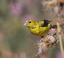 American Goldfinch on Thistle by naturalnomad