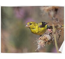 American Goldfinch on Thistle Poster