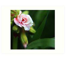 Pink Geranium Bloom and Bud Art Print