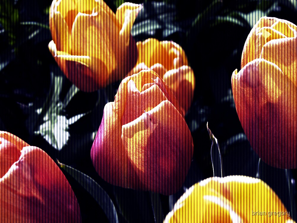 tulips wild by brian gregory