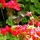 Hummingbird With Geraniums by jerryfrencho