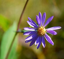 Showy Wood Aster - Alberta Wildflowers by Roxanne Persson