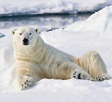 Curious polar bear by Michael S Nolan