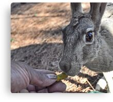 Hand-feeding Jill, the Jackrabbit (Updated Feb 2011) Canvas Print